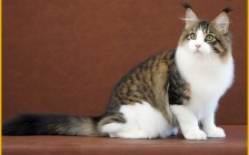 缅因三花三色猫是怎样的?缅因猫三花猫多少钱一只?