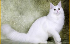 【缅因猫】5种常见的纯色缅因猫颜色_单色缅因猫