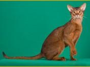 阿比西尼亚猫没有条纹,阿比猫不同颜色价格都差不多