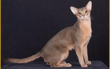 怎样挑选阿比猫的颜色?阿比西尼亚猫不让抱?阿比猫寿命短?