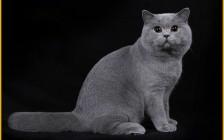英短怎么看纯不纯?谈品相失格的英短猫