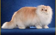 波斯猫外貌特点的介绍