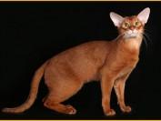阿比西尼亚猫可以和什么配?阿比猫成年多重?阿比西亚猫多少钱一只?