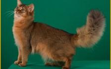 【俄罗斯】俄罗斯猫舍买猫攻略_俄罗斯带猫回国费用