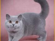英短成猫吃什么猫粮好?谈英国短毛猫一个月花费