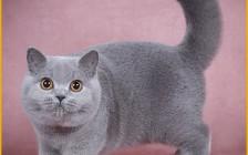 CFA英短品相图解,谈英国短毛猫品相鉴定