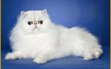 波斯猫怎么养?波斯猫的饮食要注意什么?
