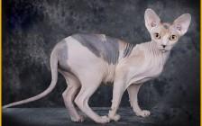 斯芬克斯猫品相对比_斯芬克斯标准_斯芬克斯猫的品相