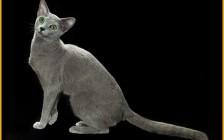 喂养俄罗斯蓝猫一个月要花多少钱?
