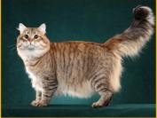 西伯利亚森林猫性格,西伯利亚森林猫优缺点介绍