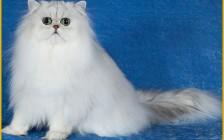 波斯猫的寿命有多久?