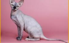 怎么看斯芬克斯猫品相?斯芬克斯猫怎么选?