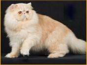 养好波斯猫要注意什么?