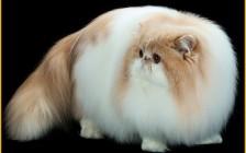 波斯猫的繁殖_波斯猫繁殖期间注意什么呢?
