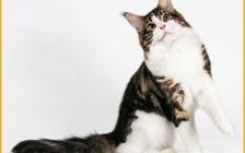 缅因猫大课堂:缅因幼猫特征介绍