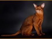 《阿比西尼亚猫买猫入门必读篇电子书》