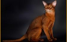 阿比西尼亚猫品相标准,谈阿比猫品相鉴定