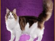 遛缅因猫要定期接种疫苗,缅因猫出门遛要防止受到惊吓跑走