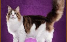 虎斑缅因猫的花纹分类