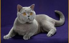 英短蓝猫多少钱一只?英国短毛猫价格灰色
