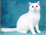 英国短毛猫价格一般多少钱?谈纯种英国短毛猫价格
