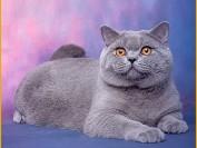 英短蓝猫价格,英短猫多少钱一只2018