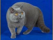 英短蓝猫会认主人吗?英短喜欢主人的表现