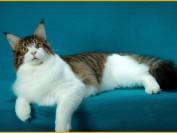 辨别幼崽缅因猫比较困难,缅因猫幼猫的挑选技巧