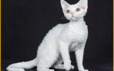 《德文卷毛猫品相详解电子书》德文猫品相鉴定