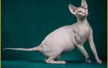 加拿大斯芬克斯猫价格_加拿大无猫毛多少钱一只_斯芬克斯猫为什么贵?