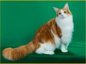 缅因猫学堂:小时候怎么分辨?