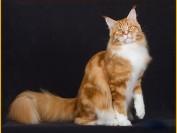 【缅因猫】关于缅因猫品相等级的分类标准