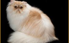 怎样正确帮波斯猫清理泪痕?