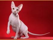 WCF斯芬克斯无毛猫标准_斯芬克斯猫_加拿大无毛猫