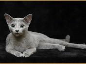 《俄罗斯蓝猫回新家注意事项篇》