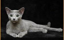 俄罗斯蓝猫为什么还会有其他颜色?