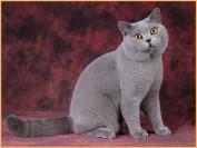 英短蓝猫配种配色表,英短蓝猫配种的公式