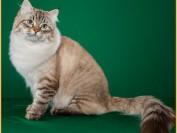 西伯利亚森林猫聪明吗?西伯利亚森林猫粘人吗?