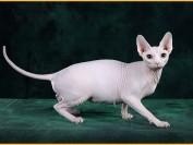 斯芬克斯猫百度百科_加拿大无毛猫百科