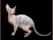 斯芬克斯花色繁育知识_斯芬克斯猫有几种颜色?