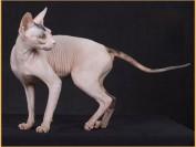纯种斯芬克斯猫价格_斯芬克斯无毛猫_斯芬克斯多少钱一只?