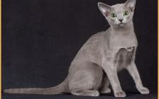 纯种俄罗斯蓝猫品相特点分析