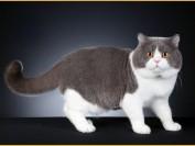 英短蓝白猫为什么比蓝猫贵?谈英国短毛猫蓝白色
