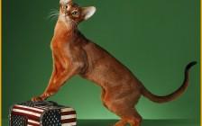 阿比西尼亚猫幼猫品相判断?阿比西尼亚猫吃什么?