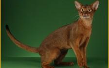 阿比西尼亚猫体型多大?6个月阿比猫多重?阿比尼西亚猫好坏区分?