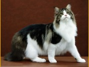 国内纯种缅因猫价格8000-15000元,一千多能买到缅因猫串串