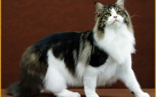 缅因猫虎斑加白开脸_棕虎斑_银虎斑_蓝虎斑,你都见过吗?