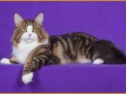 缅因猫和狸花猫的区别