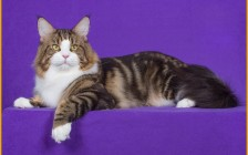 正规猫舍的缅因猫幼仔卖8000-15000元,串的缅因一般200~800元