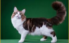 凶悍的缅因猫_性格却是温顺的小女生